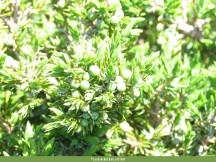 Juniperus communis. Autor: JBUTAD